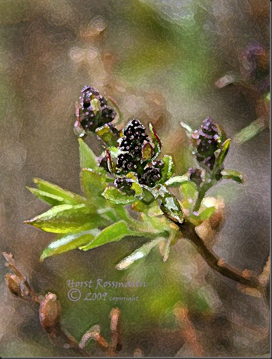 Lilac spring2