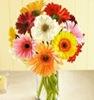 bunga_gerbera_daisy_tanaman_sehat_aman_dalam_rumah