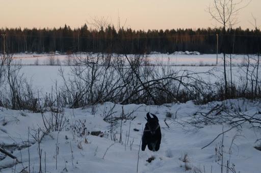 Labradorinnoutaja pellonlaidassa