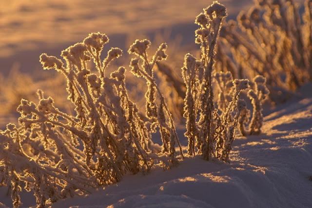 siankärsämöitä talvella