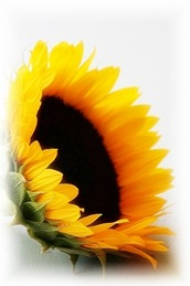 sunflower10A1
