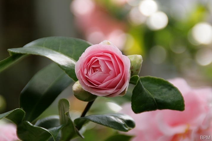 camelliabud