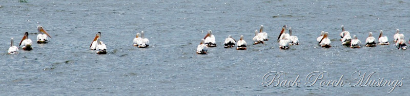 pelicans