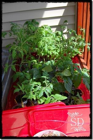 Tomatoes Outside 5-11