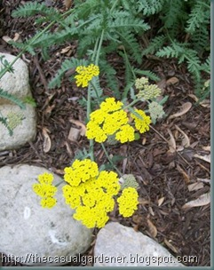 Golden Yarrow '08