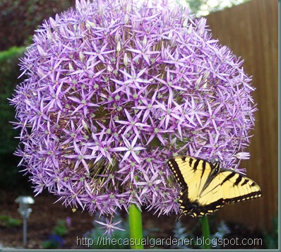 Allium and Butterfly