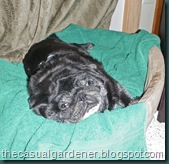 Harry the Pug Dozing After Dinner