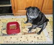 Harry the Pug Eating Dinner