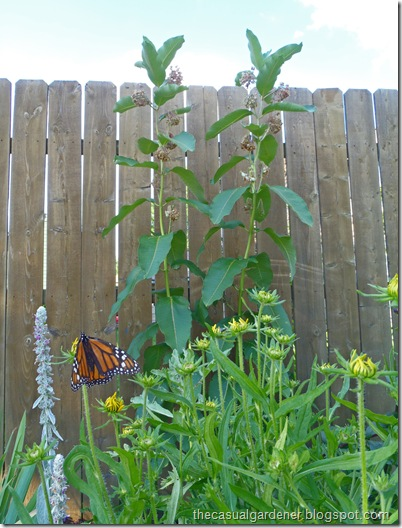 Monarch Butterfly next to my back garden milkweed