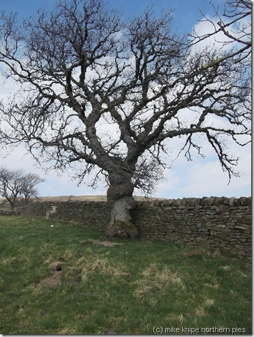veteran ash tree