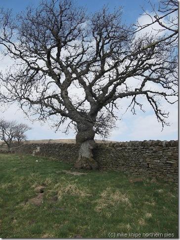 veteran ash tree
