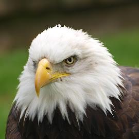 RF15 sep by Garry Chisholm - Animals Birds ( bird, garry chisholm, eagle, nature, wildlife, prey )