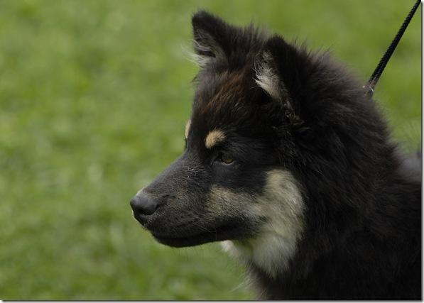 Lapphund utst Biri09_1979_edited-1