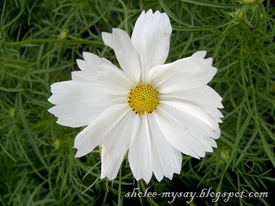 wild daisy