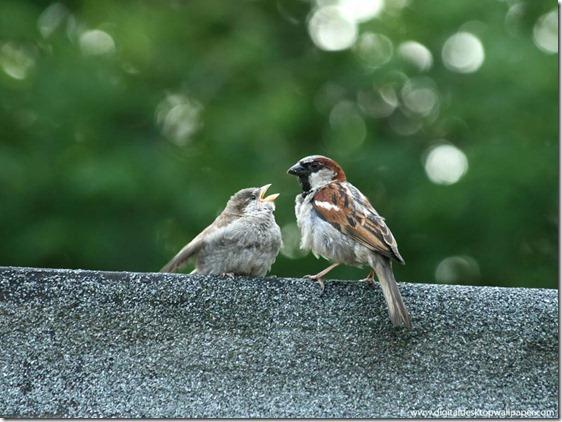 ibu burung