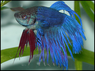 BM10- Siamese fighting fish