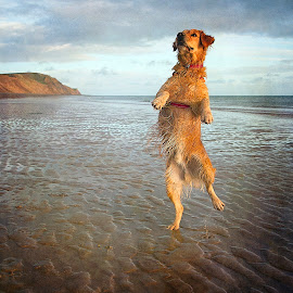 If I Stand On One Leg by CLINT HUDSON - Animals - Dogs Playing ( playing, happy, beach, dog, friend, jump, golden retriever )