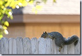 squirrelonfence