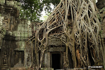 Temple at Ta Prohm overgrown with a spung tree (Tetrameles nudiflora)