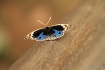 Blue and black butterfly in ruins near Ankor Thom