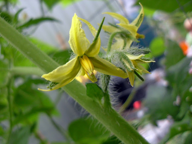 A Tomato in flower
