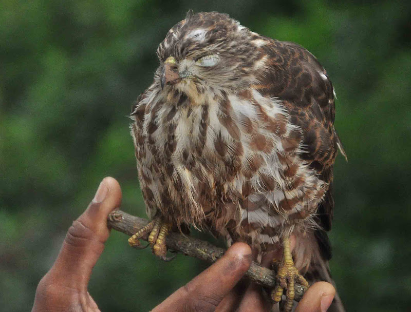 ಉರ್ಚಿಟ್ಲು -Besra SparrowHawk ಕಣ್ಮುಚ್ಚಿ ಕುಳಿತ ಅಪರೂಪದ ಚಿತ್ರ.