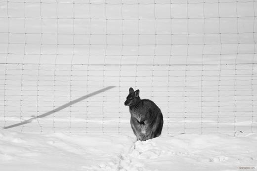 Bennetkänguru (Rotnackenwallaby) im Erfurter Zoo