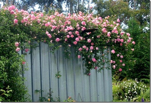 fragrant-climbing-rose
