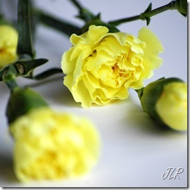YellowCarnation_edited-1