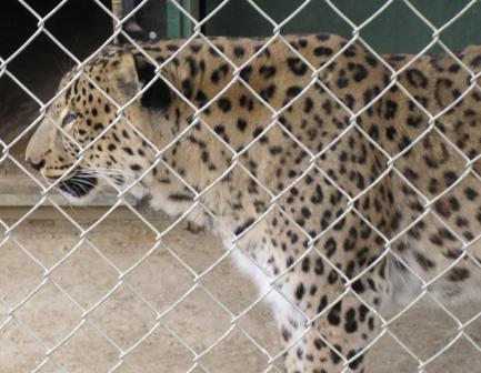 Shapur, a rare Persian Leopard