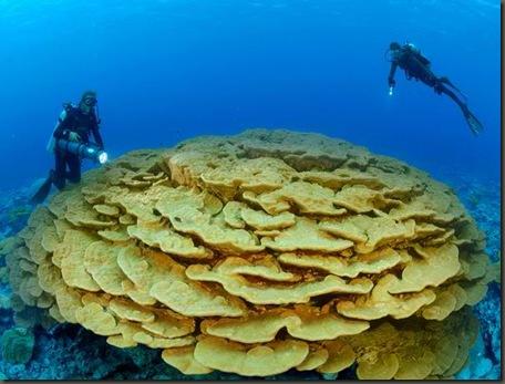 corals01-lobe-coral_17847_600x450