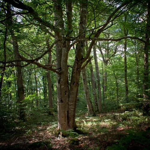 un arbre dans la forêt de Chinon
