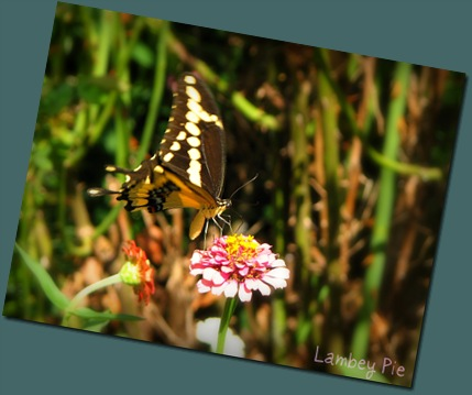 swallowtail on flower wm.jpeg