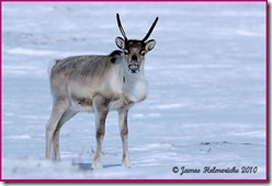 Caribou-Apr_7244