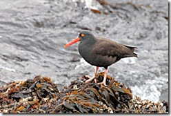 BlackOystercatcher1sm_1280