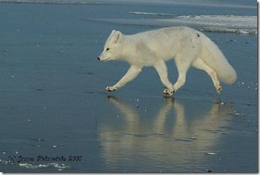 ArcticFox1_5776