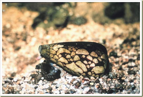 03-most-poisonous-animals-in-the-world-marbled-cone-snail - 10 Most Poisonous Animals in the World - Weird and Extreme