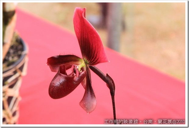 Tainan_orchid01