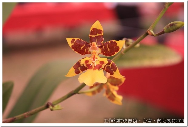 Tainan_orchid14