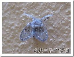Telmatoscopus_albipuncatus02