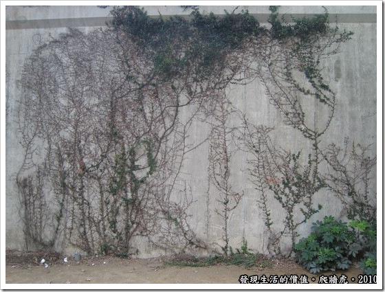 偶爾走過基隆河的河堤,赫見圍牆上已經不知不覺地爬滿了藤蔓,還構成了一幅生動的作品宛如大師的畫作。查詢了一下,發現這種藤蔓叫做「地錦」,俗名又稱「爬牆虎」。