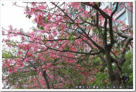 嬌艷欲滴的美人樹--木棉的近親