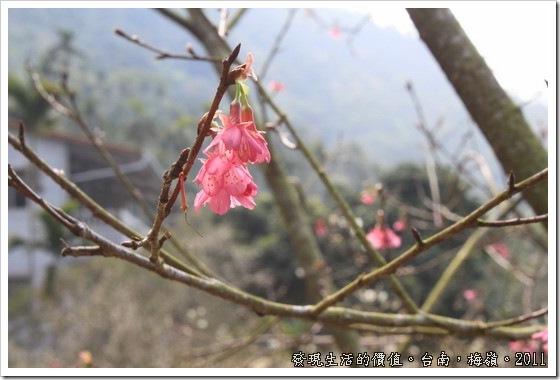 在台南梅嶺,滿山遍野的白色花海裡居然夾雜了一棵紅色的山櫻花