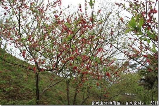 金針山的重瓣緋寒櫻