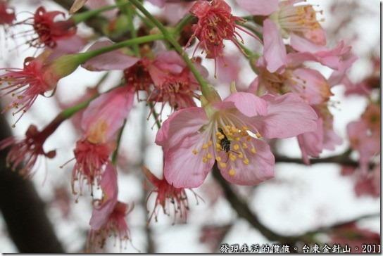 金針山的土地公廟這邊也有櫻花樹喔!這裡種的是野吉櫻,優雅中帶點嬌羞。