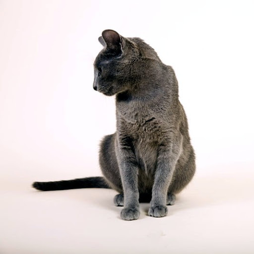 Darisha von Atmosphaer Cologne - Russian Blue Cat by Caritates Cattery