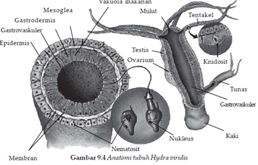 Struktur Hydra