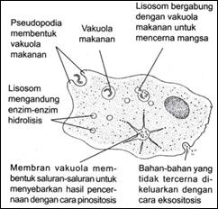 StrukturAmoeba