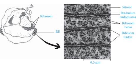 ribosom bebas,ribosom terikat