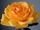 موسوعة رائعة من الورود 42